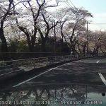 桜沿線の道路(県道13号)